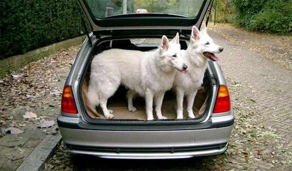 Белые швейцарские овчарки, фото породы собаки изображение