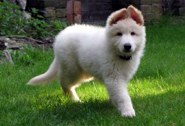 Щенок белой швейцарской овчарки, фото собаки фотография