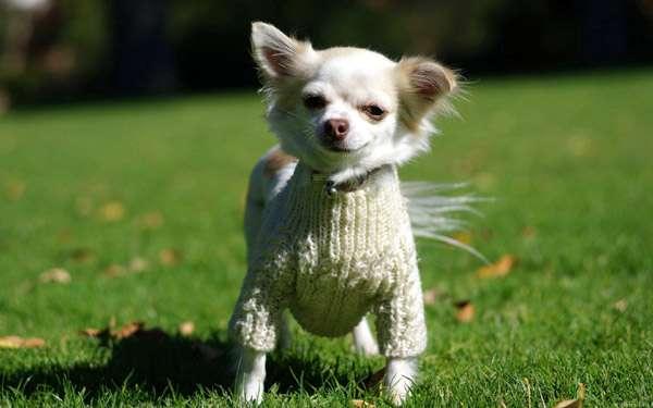 Чихуахуа, фото новости о собаках фотография