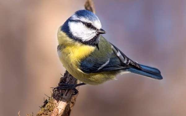 Большая синица (Parus major), фото новости о птицах фотография