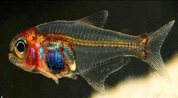 Прозрачная рыбка (Cyanogaster noctivaga), фото рыбы фотография