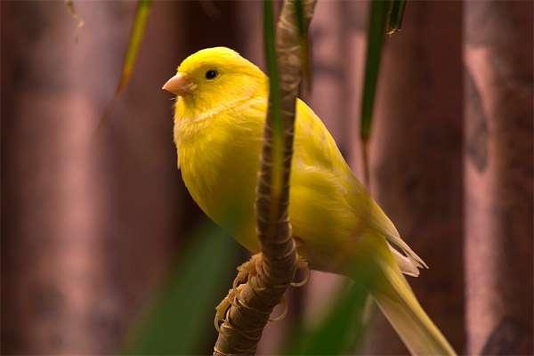 Желтая канарейка, фото птицы фотография изображение