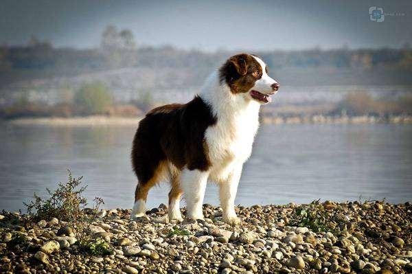Австралийская овчарка, фото вопросы о собаках офтография