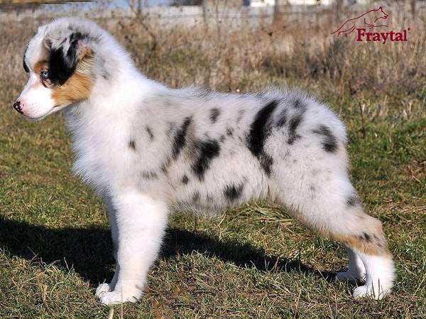 Щенок австралийской овчарки, фото фотография собаки