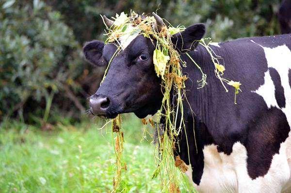 Корова, фото парнокопытные животные фотография