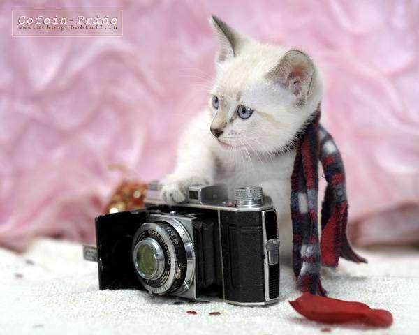 Меконгский бобтейл, фото поведение кошек фотография