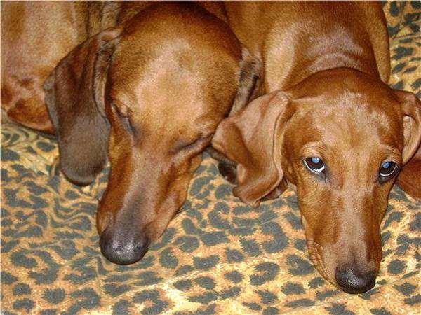Таксы, фото вопросы о собаках фотография