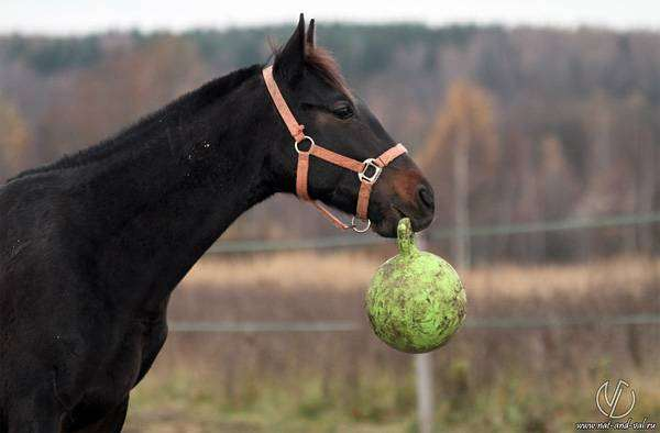 Лошадь с мячиком, фото фотография