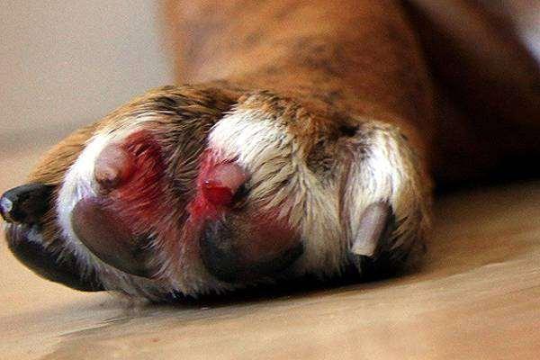 Лапа собаки с кровоточащими когтями, фото фотография