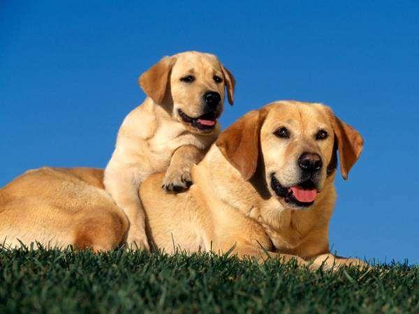 Лабрадор со щенком, фото новости о животных собаки фотография