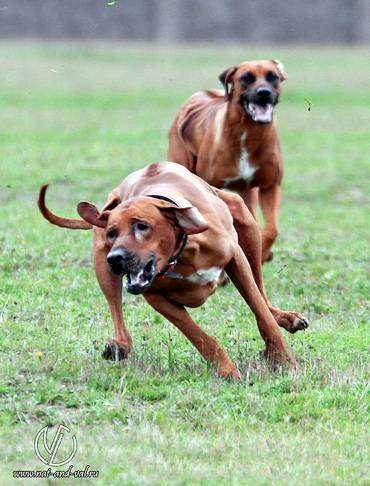 Родезийский риджбек, породы собак собаки фото фотография
