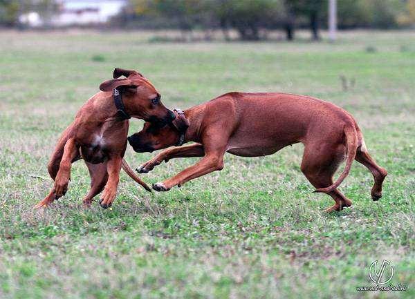 Родезийский риджбек, фото собаки фотография породы собак