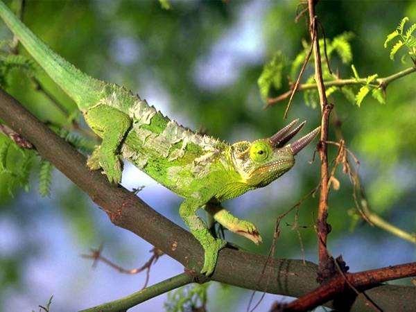 Хамелеон Джексона, или трехрогий хамелеон (Chameleon jacksoni), фото рептилии фотография