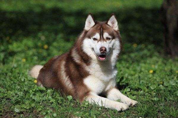 Сибирский хаски, собаки фото породы собак фотография