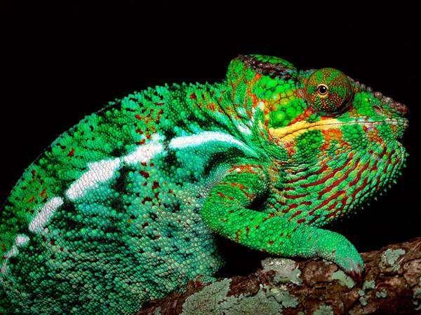 Хамелеон, фото болезни рептилий фотография