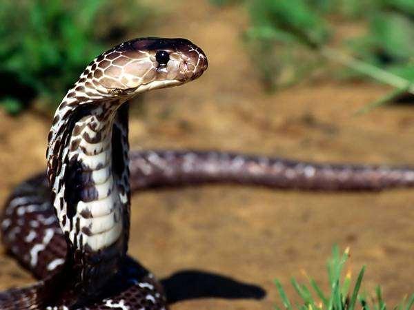 Кобра, фото болезни рептилий змеи фотография