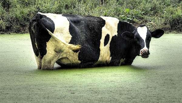 Корова, в заросшей тиной, луже, фото парнокопытные фотография