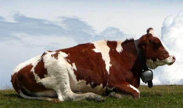 Отдыхающая корова, фото домашние животные фотография
