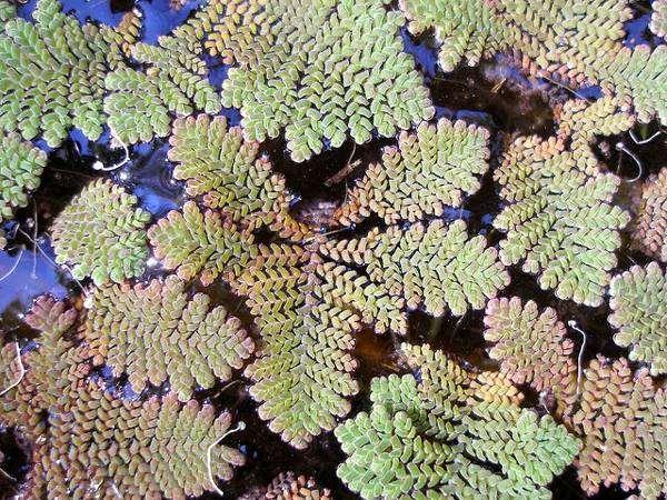 Азолла перистая (Azolla pinnata), фото аквариумные растения фотография