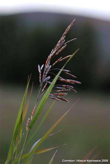 Костер безостый (Bromus inermis), фото растения изображение