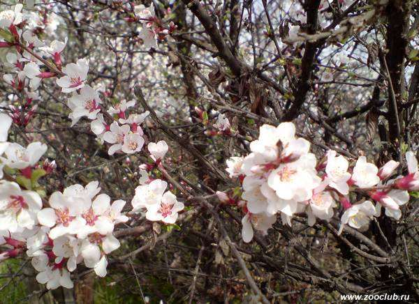 Цветущая Вишня обыкновенная, или садовая (Cerasus vulgaris), фото растения фотография