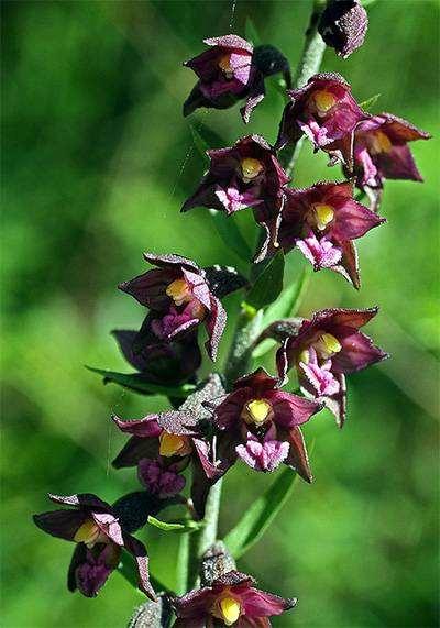 Дремлик темно-красный (Epipactis atrorubens), фото орхидные растения фотография