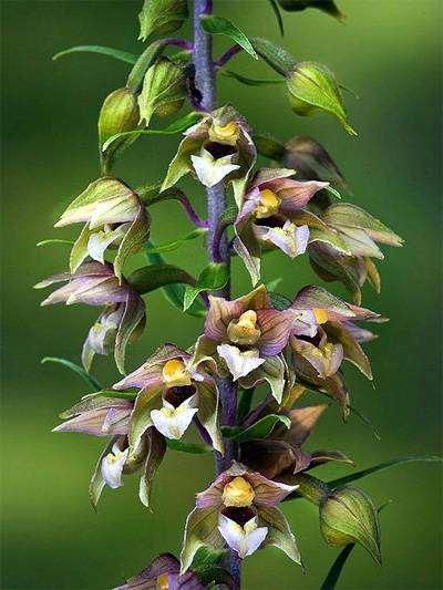 Дремлик зимовниковый, дремлик широколистный (Epipactis helleborine), фото орхидные растения фотография