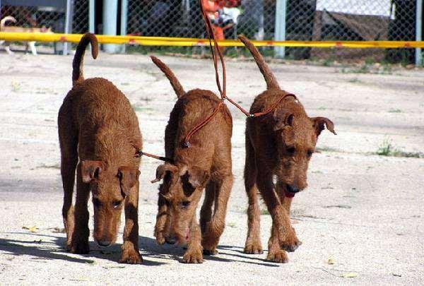 Ирландские терьеры, фото собаки породы собак фотография