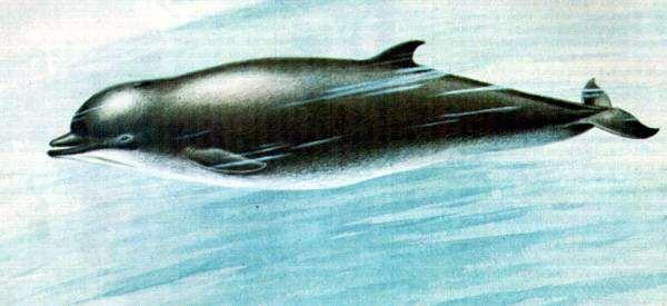 Высоколобый бутылконос (Hyperoodon ampullatus), рисунок китообразные картинка клюворылые