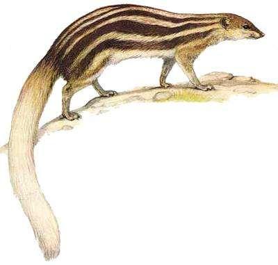 Широкополосый мунго (Galidictis fasciata), рисунок мадагаскарские хищники картинка Helmut Diller for Delachaux & Niestlé
