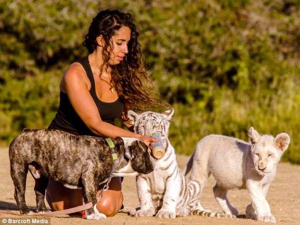 Английский бульдог Айс и тигренком и львенком, фото фотография картинка животные