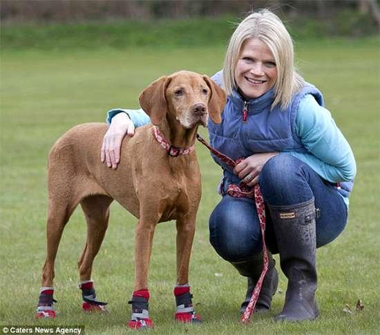 Выжла Милли в ботиночках, фото фотография новости о собаках картинка