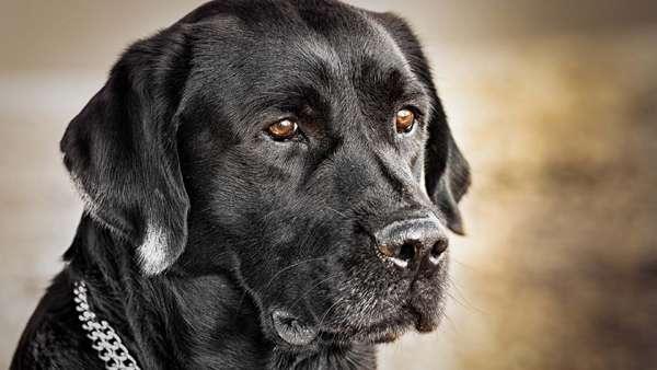 Черный лабрадор-ретривер, фото фотография новости о собаках