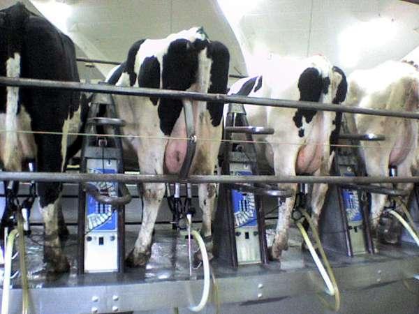 Дойка коров, фото коровы животные фотография