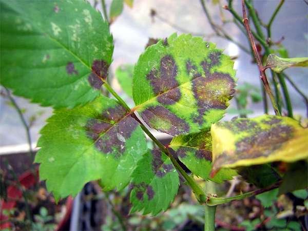 Листья розы, пораженные грибком Marssonina rosae, фото фотография растения картинка