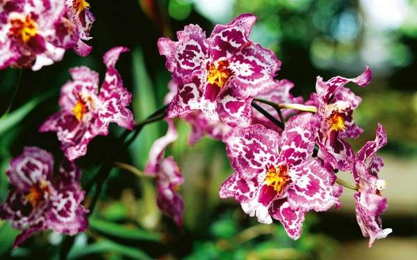 Красивая орхидея, фото фотография цветы