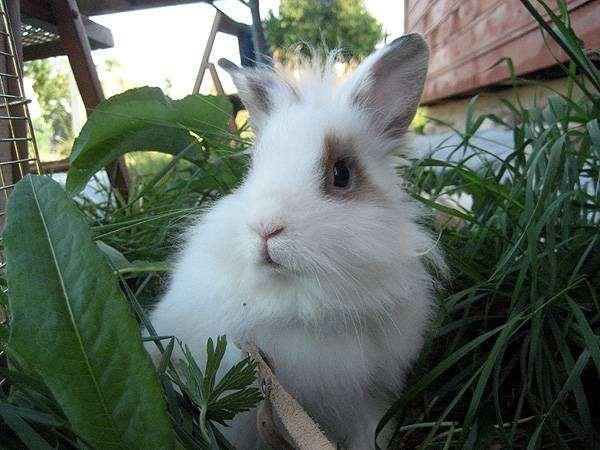 Карликовый кролик на прогулке, фото вопросы о кроликах фотография