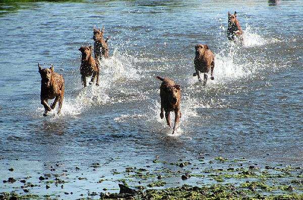Ирландские терьеры, собаки фото фотографии породы собак