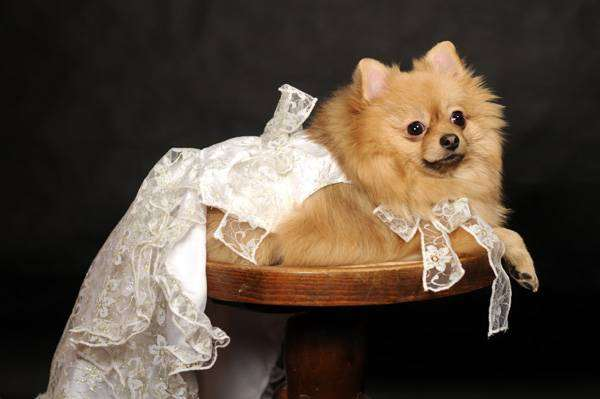 Шпиц, фото собаки изображение