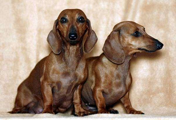 Гладкошерстные таксы, фото породы собак фотография