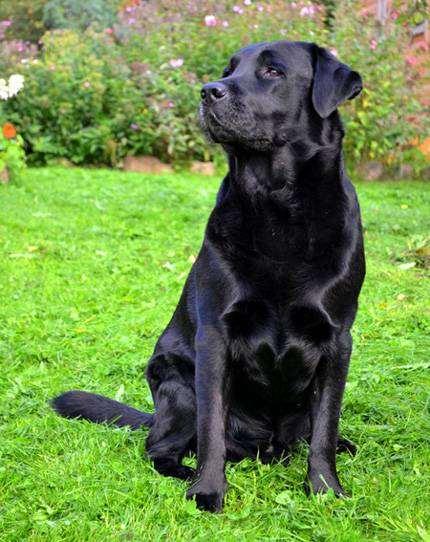 Черный лабрадор-ретривер, фото вопросы о собаках фотография