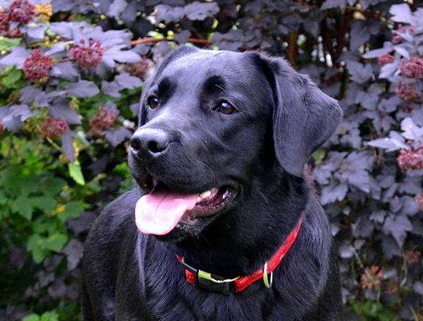 Лабрадор ретривет, фото болезни лечение собак фотография