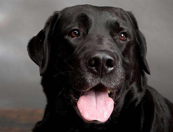 Черный лабрадор-ретривер, фото болезни ушей собаки фотография