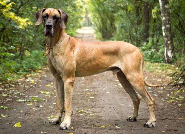 Дог, или немецкий дог, фото породы собак фотография
