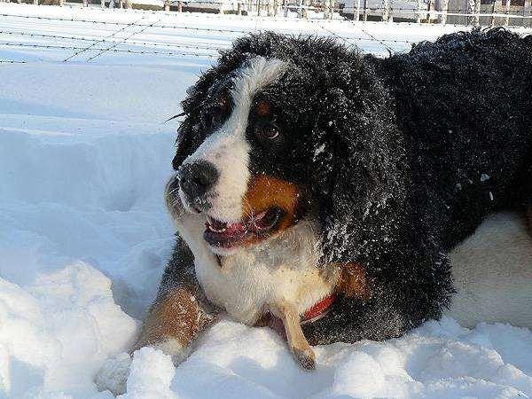 Бернский зенненхунд, фото породы собак фотография