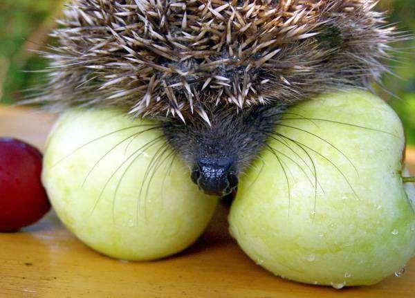 Ежик на яблоках, фото болезни лечение ежей фотография