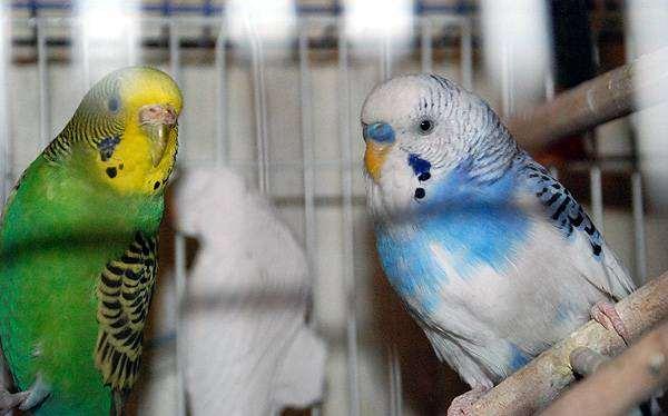 Волнистые попугаи, фото птицы фотография попугайчики