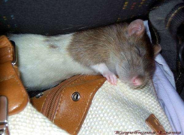 Чем усыпляют крыс в домашних условиях 610