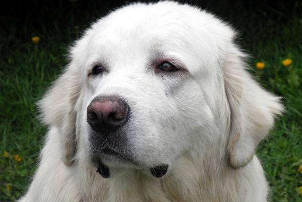 Польская подгалянская овчарка, фото породы собак фотография