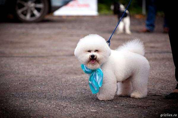Бишон-фризе, фото выбор породы собаки фотография